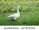 Goose In Park.