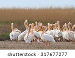 white pelicans in the danube... | Shutterstock . vector #317677277