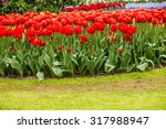 Red Tulips  Netherlands ...