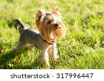 Yorkshire Terrier  Friendly Pe...