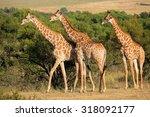 giraffes  giraffa... | Shutterstock . vector #318092177