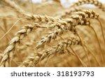 ears of ripe wheat growing in a ... | Shutterstock . vector #318193793