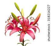 beautiful pink lily flower... | Shutterstock . vector #318216227