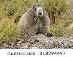 Hoary Marmot  Marmota Caligata...