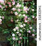 Stock photo roses growing along stone wall 31832041