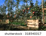 Fall Harvest  Apple Trees Row...