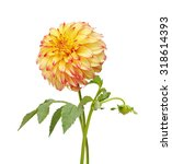 Yellow  Red And Colored Dahlia...