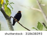 Hill Myna In Ella  Sri Lanka  ...