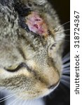Small photo of Cat with abscess from bite wound on head