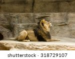 Recumbent Lion With Eyes In Th...