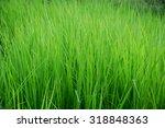 leersia hexandra | Shutterstock . vector #318848363