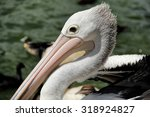 Pelicans Are A Genus Of Large...