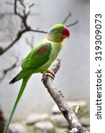Small photo of Alexandrine Parakeet