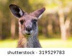Young Kangaroo Looking Close Up