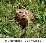 athene bird nest cuniculariano | Shutterstock . vector #319743863