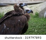 A Couple Of  Cinereous Vulture...
