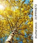 Yellow Birch Tree Foliage In...