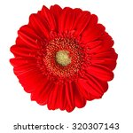Gerber Flower Isolated On Whit...