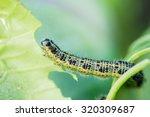 Pieris Brassicae Caterpillar...