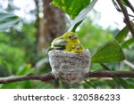 Small photo of Close up parent feed up the baby bird. Common Iora - Aegithina tiphia
