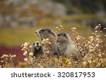 Three Hoary Marmots  Marmota...