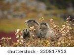 Three Hoary Marmots  Marmota...