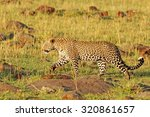 Leopard Walking Across The...