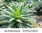 Aloe Vera Plants  Tropical...