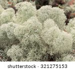 Small photo of White reindeer moss photo, star-tipped Reindeer Lichen (Cladina stellaris). Arctic boreal zone