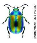 Beetle chrysolina fastuosa on a ...