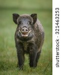Wild Boar  Male With Large...