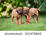 Stock photo two rhodesian ridgeback puppies playing outdoors 321470843