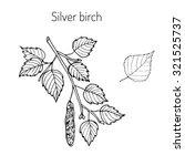 Silver Birch Branch With Green...