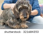 The Dachshund Wire Haired Is...