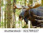 Portrait Of A Moose Bull  Alce...