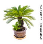 Palm Tree Cycas Revoluta In...