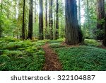 Redwood Path  A Forest Path In...