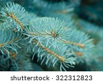 branches of blue fir tree....