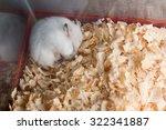 White Hamster Sleep On Sawdust...
