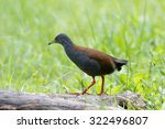 Small photo of The black-tailed crake (Amaurornis bicolor) is a species of bird in the Rallidae family. It is found in Bhutan, China, India, Laos, Myanmar, Nepal, Thailand, and Vietnam.