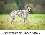 Whippet Dog Walking On The Field