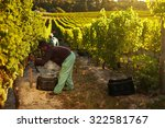 Image Of Worker Picking Grapes...