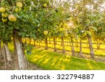 Apple Trees In An Orchard With...