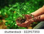 seedling tomatoes in the hands... | Shutterstock . vector #322917353