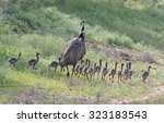 Emu With Eighteen Chicks Near...