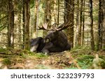 Moose Bull  Alces Alces  With...