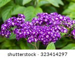 Small photo of Heliotrope plants in bloom with blue flowers