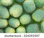 Wild Cucumber Echinocystis...