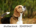 Beagle Dogs  Portrait