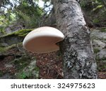 Birch Polypore   Piptoporus...